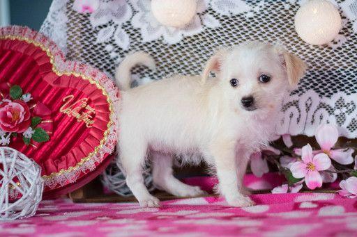 Maltese Puppy For Sale In Kent Oh Adn 62500 On Puppyfinder Com