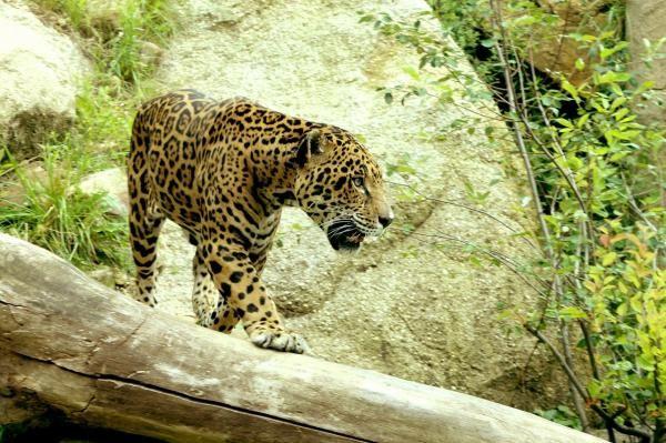 El jaguar es llamado Otorongo en la zona y es sin duda el mayor felino del continente Sudamericano. Tiene similitud con el Leopardo por poseer en su piel manchas negras sobre un fondo amarillo-rojizo, pero difiere en otras muchas cosas.