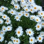 For front yard- shasta-daisy-flowers
