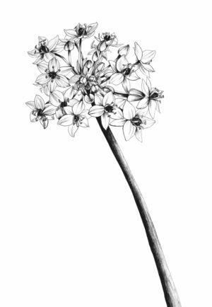 Ornithologium botanical illustration