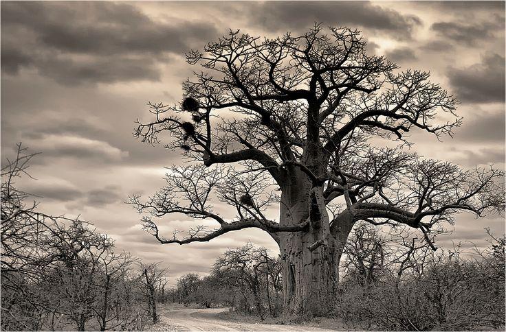 Baobab in Mapungubwe National Park, South Africa