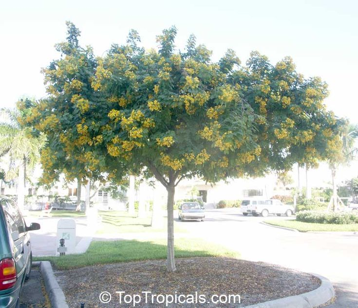 29 best Plants of Jamaica Shade Trees images on Pinterest