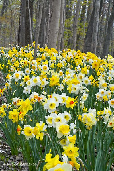 More...more...more...Daffodil Spring Loaded ®   Daffs For Naturalizing Bulbs for Sale   COLORBLENDS