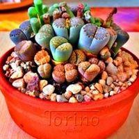 Benih langka kaktus mini campur 1