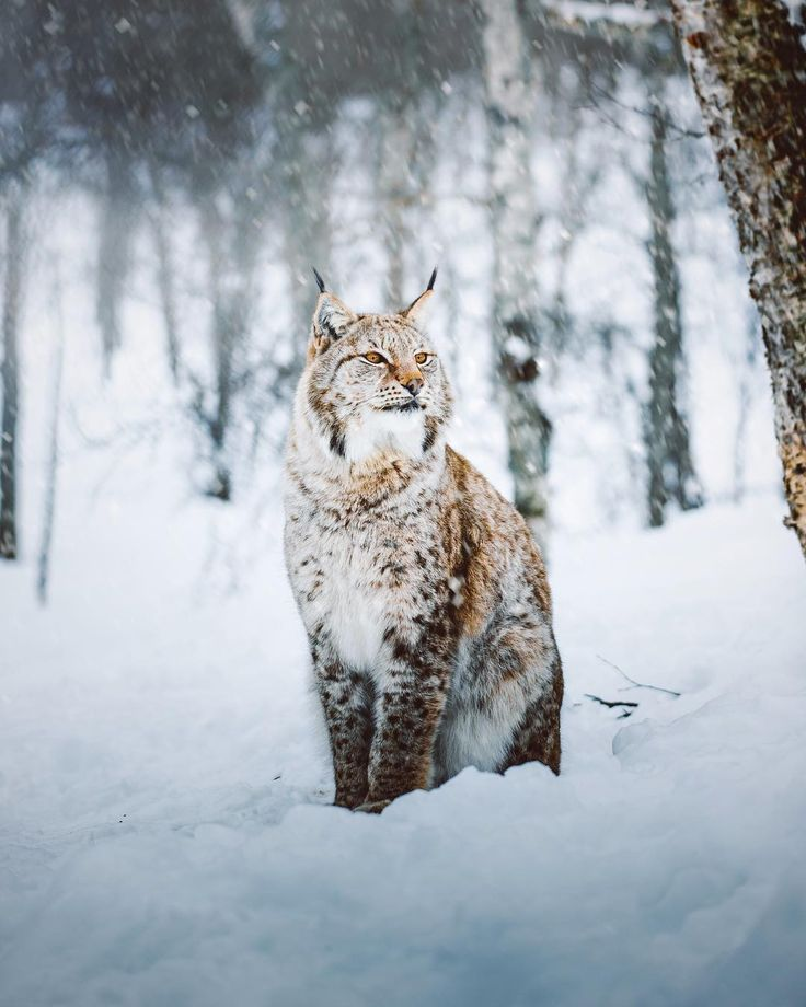 Snow winter lince