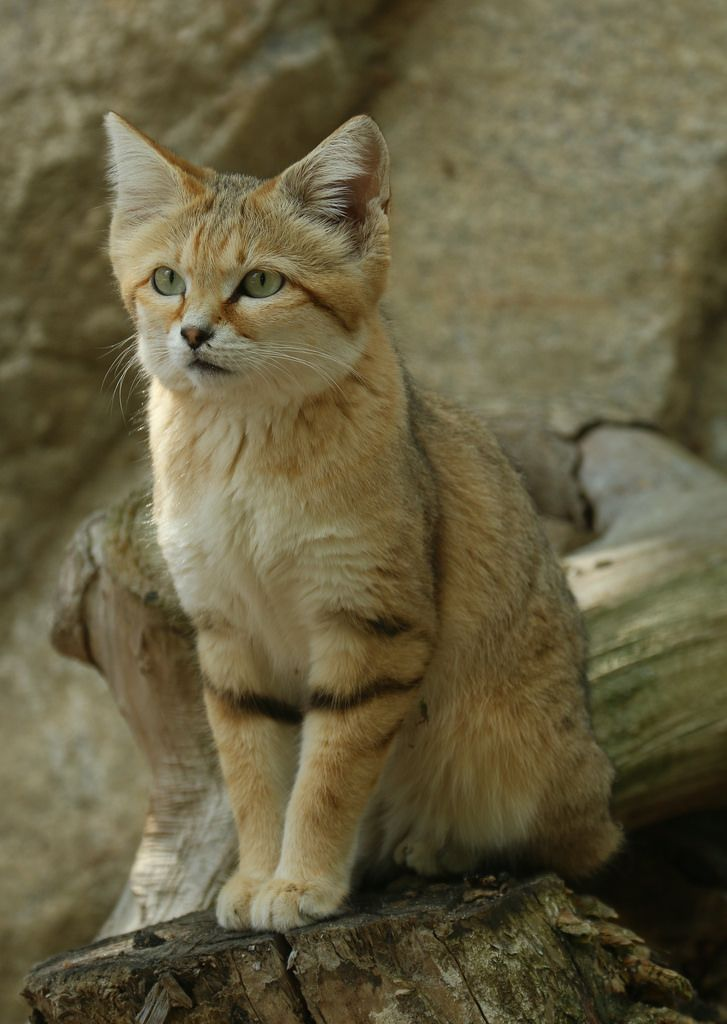 "magicalnaturetour: "" Sand cat by Tomas Öhberg A sand cat waiting for food at Parken Zoo, Eskilstuna Sweden. http://flic.kr/p/KH5CmR """