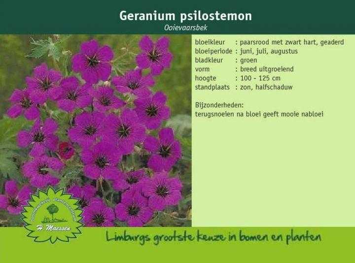 Ooievaarsbek - Geranium psilostemon