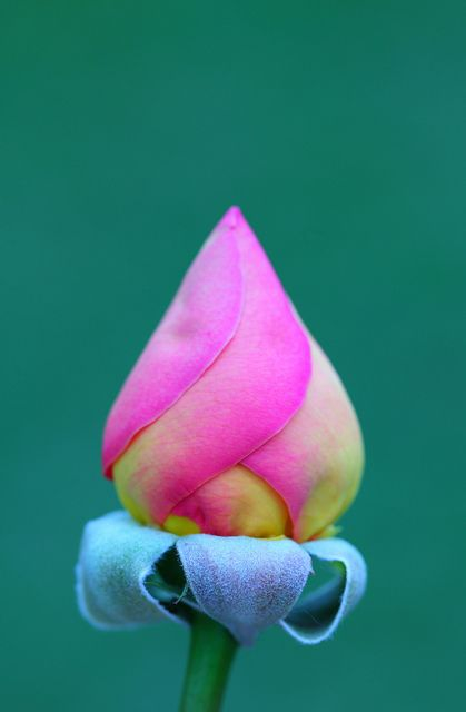 ~~Moscow Rose by Pink Sherbet Photography~~