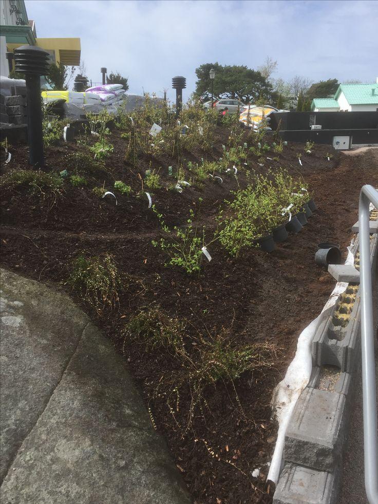 Totalt 180st bär buskar planterat
