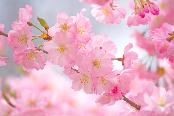 Cherry Blosom Trees - Essex County Cherry Blossom Festival