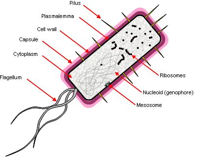 CLUE: Lesson 1.2  A bacterial cell structure and function.   GENOPHORE  The genophore is the DNA in a bacterial cell.