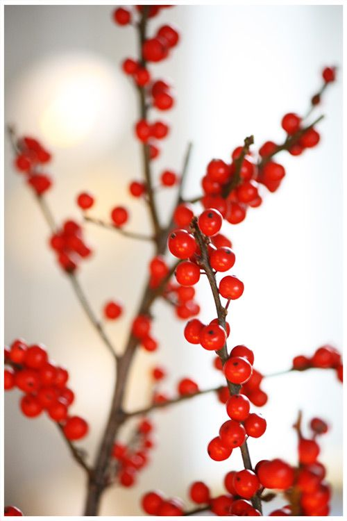 My favourite winter flower of all, the red berries. Not only do they last for weeks, but they look stunning with white wal...