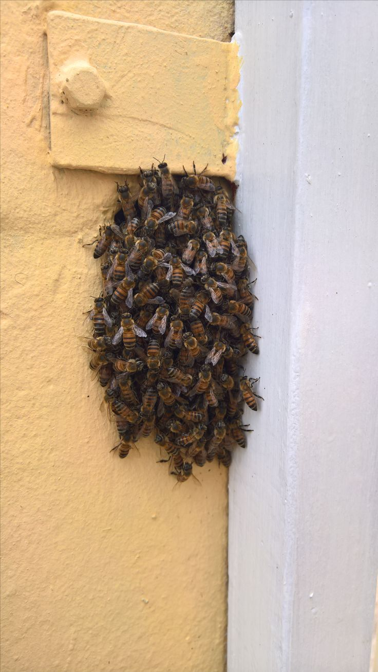 Best 25 bee removal ideas on pinterest beekeeping bees and bee removal in johannesburg bee sin a hole inthe wall solutioingenieria Image collections
