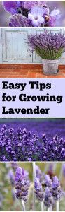 LAVENDER !    I have grown it before but these tips should help me a lot !  Easy+Tips+for+Growing+Lavender