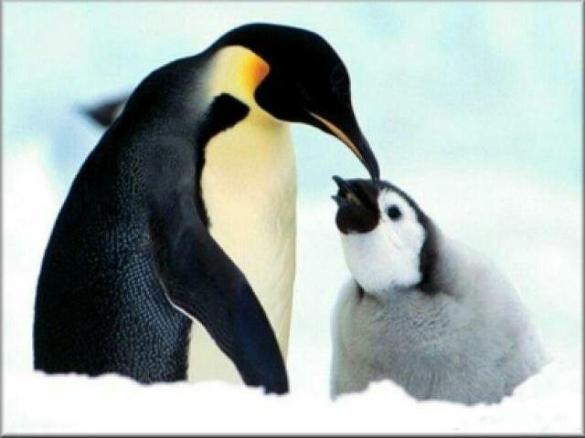 Los pingüinos son aves que no vuelan, pero, sus aletas les permiten alcanzar grandes velocidades en el agua, pueden alcanzar velocidades de hasta 20 kilómetros por hora en el agua. Existen 17 especies diferentes de pingüinos y, todos, viven en el hemisferio sur. No todos los pingüinos viven en climas fríos, algunos viven en climas más cálidos, como las Islas Galápagos. Lamentablemente muchasespecies de pingüinosse encuentran amenazadas. La esperanza de vida normal de un pingüino es de 15 a…