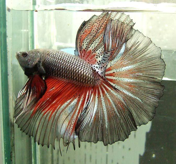 82 best dragon scale bettas images on pinterest aquarium for Rare betta fish