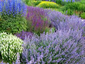 Catmint is one of my favorite perennials.