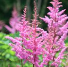 (BG6) Astilbe 'Bressingham Beauty' (× arendsii) false goatsbeard Position: full sun or partial shade Soil: moist, humus-rich soil Rate of Growth: vigorous Flowering period: July Hardiness: fully hardy H: 90 cm S: 60 cm  Delicate, feathery, vivid pink plumes appear in midsummer above serrated, bronze- tinted, mid-green leaves. This astilbe is one of the taller varieties. It's ideal for a moist bog garden or moist border