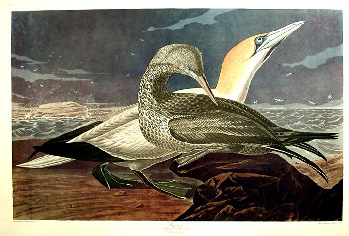 Image result for audubon gannet