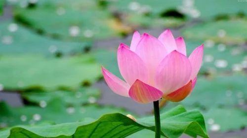 Лотос - это цветок, часто являющийся религиозным символом.