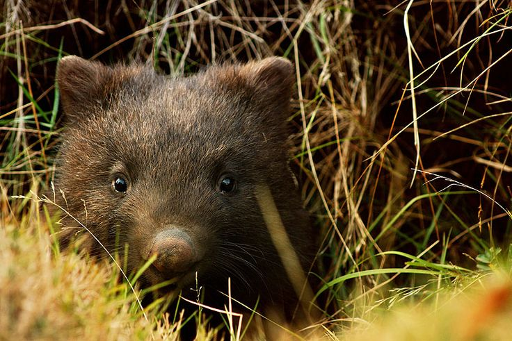 Wombat Facts For Kids   Expert Diggers