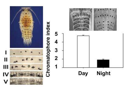 Rythme circadien de   la pigmentation chez Eurydice pulchra