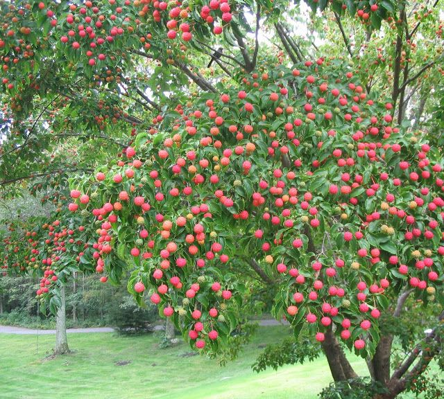 Another great article about eating dogwood berries!  Has a video on it too.  Each tree has a different flavor but a mixture between apricots and mangos.  Taking Back Control Of Our Health: EDIBLE BERRIES FROM THE KOUSA DOGWOOD
