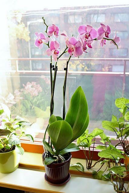 Causas por las que no florece una orquídea