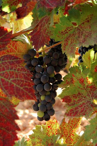 Otoño en las viñas  Rioja