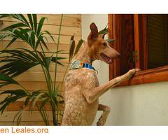 IRAYA en adopción - Salva un podenco  #Adopción #adopta #adoptanocompres #adoptar #LealesOrg  Contacto y info: Pulsar la foto o: https://leales.org/animales-en-adopcion/perros-en-adopcion/iraya-en-adopcion-salva-un-podenco_i2799 ℹ  IRAYA en adopción responsable o casita de acogida que le enseñe que no tiene nada que temer. Iraya es miedosa sobre todo al principio. Pero cuando empieza a confiar se vuelve alegre y cariñosa. Contacto: salvaunpodenco@gmail.com   Acerca de esta publicación…