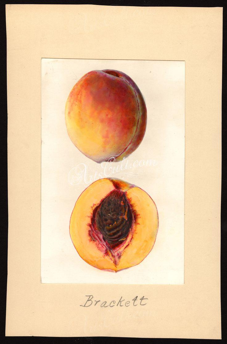 5192-Prunus persica-Brackett      ...
