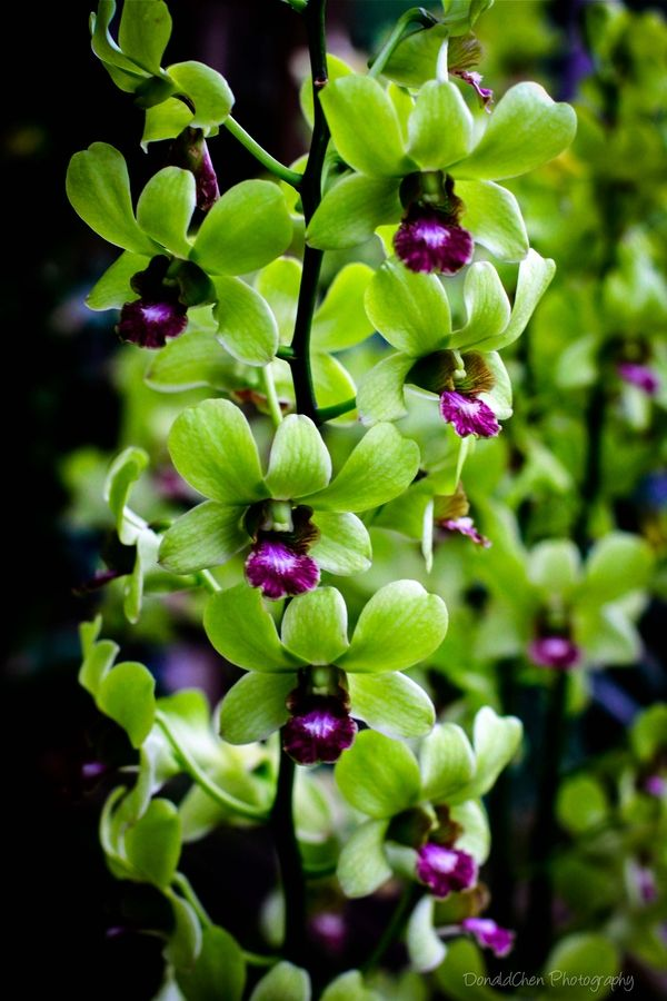 Dendrobium Orchid Singapore ... Green and Purple... two of my fave colors :)
