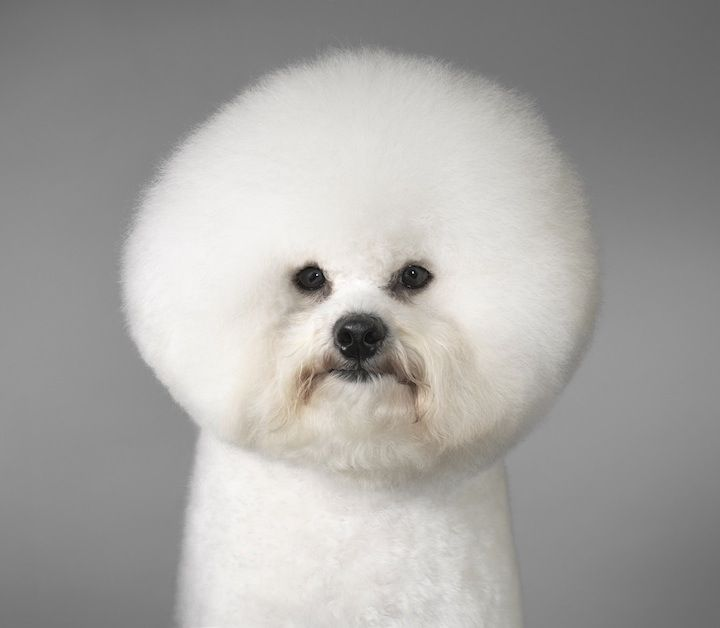 DOGS GODS BY TIM FLACH: Bobs Ross, Dogs Photography, New Haircuts, Bichon Frise, Hair Cut, Tim Flach, Dogs Lovers, Dogs Portraits, New Hairstyles