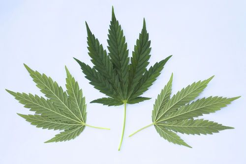 Going natural for your anxiety treatment is a good path but is Cannabis the right choice?