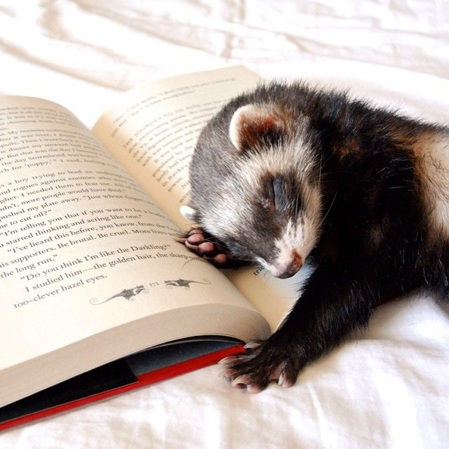 ... reading with your ferret... how to turn the page without wakening him is another story...
