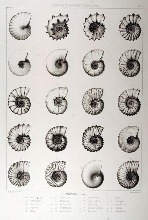 thephysicalisanillusion:    thephysicalisanillusion:  Ammonites