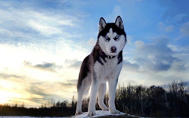 Anjing Bentuk Evolusi dari Serigala, Masa Sih? http://jitunews.com/read/19898/anjing-bentuk-evolusi-dari-serigala-masa-sih