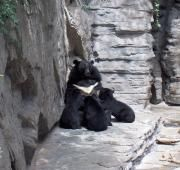 Asiatic Black Bear with young at Denver Zoo
