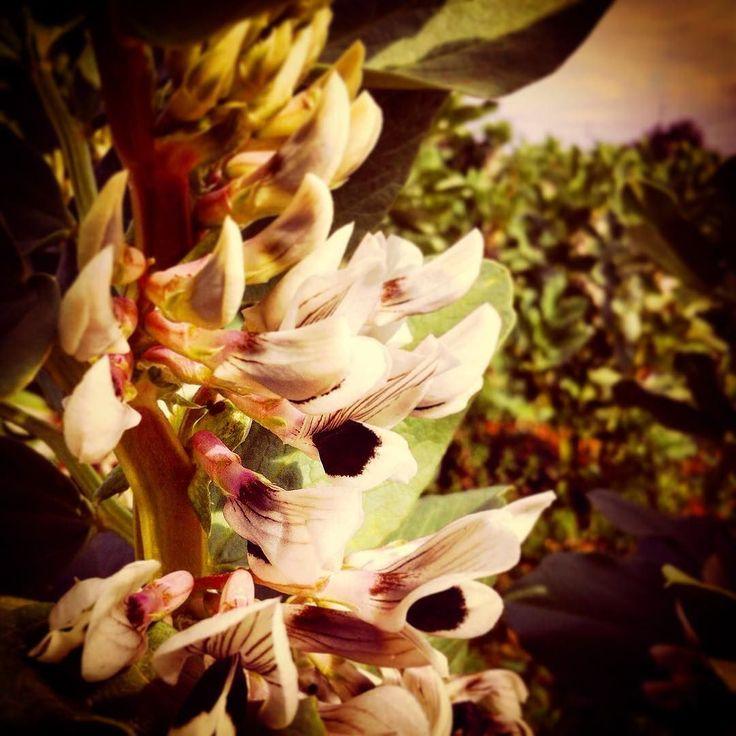 Vicia faba (detalle flor) #flores #photooftheday #detail #tiltshift #bokeh #flowers #nature #ecological #growth
