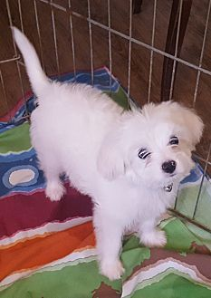 8/31/17 Temecula, CA - Havanese Mix. Meet Baby girl a Puppy for Adoption.