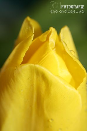 tulips, flowers, yellow, water drops, photography