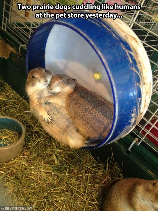 Two prairie dogs cuddling