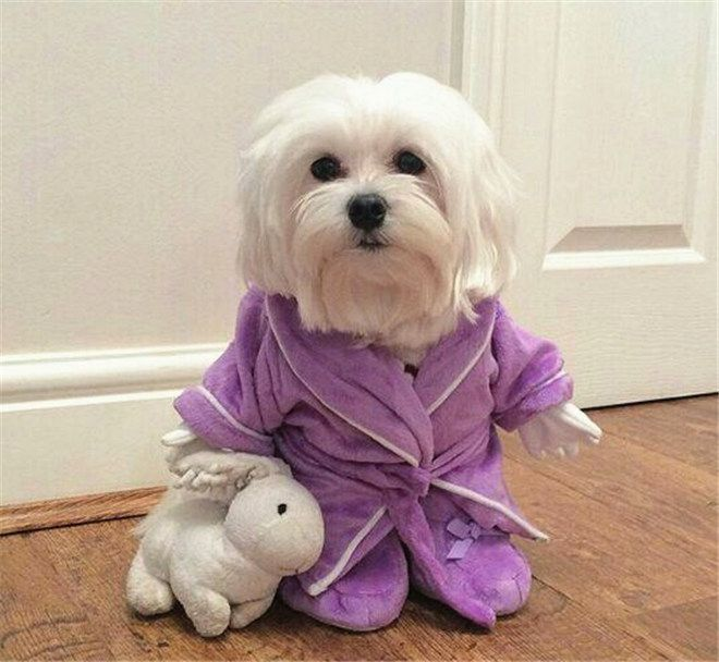 What Breed Of Dog Is A Maltese Facts And Pictures Cute Animals