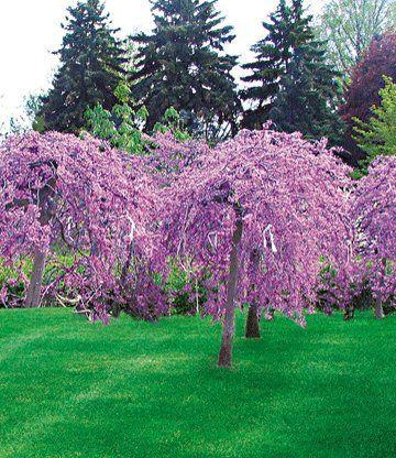 Die besten 25+ Blühende bäume Ideen auf Pinterest Bäume pflanzen - baume fur den vorgarten