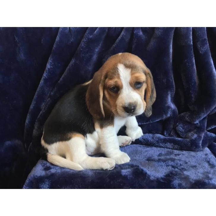 5 Pure Bred Beagle Puppies Beagle Puppy Beagle Puppies