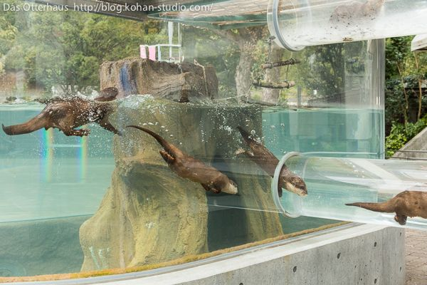 Otters Zoom In and Out of Their Ottertube More at today's Daily Otter post, via Das Otterhaus [Tobe Zoological Park, Japan]