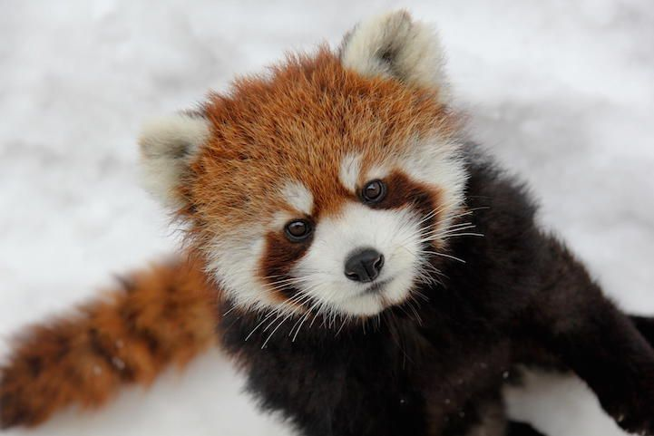 Red Pandas are the Cutest Animal on the Planet - My Modern Met