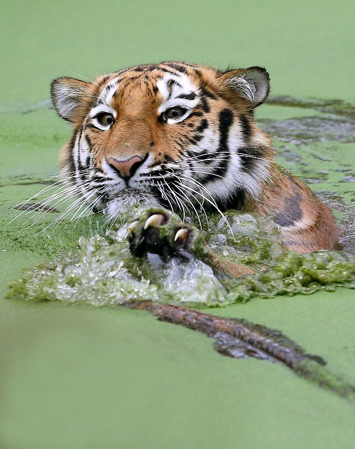 A Young Siberian Tiger Panthera Tigris Altaica Swims In Its