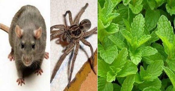 Avec cette méthode vous ne verrez plus ni rats, ni araignées et ni insectes dans votre maison !
