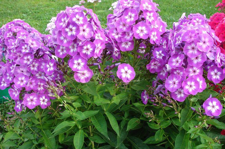 Floks wiechowaty – Phlox paniculata Adessa Purple Star   Gospodarstwo Ogrodnicze w Gumowie